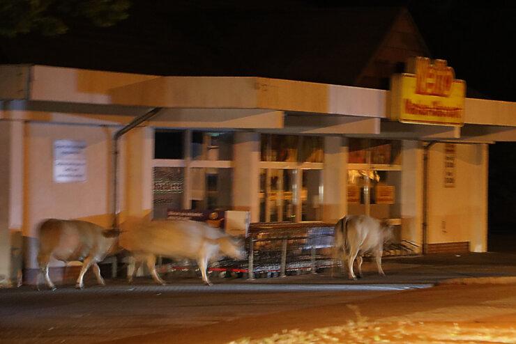 15 Kühe blockieren Straße in Ebersdorf